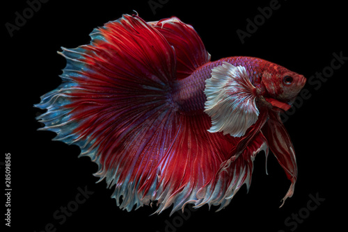 Rhythmic movement of dumbo ear half moon long tail Betta isolated on black background Wallpaper Mural