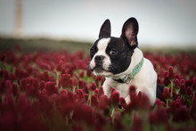 Puppy Of French Bulldog Is Running In Crimson Clover. It Was So Tall So He Must Jump.