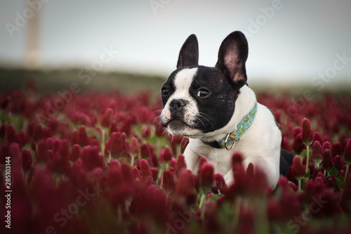 Poster Bouledogue français Puppy of french bulldog is running in crimson clover. It was so tall so he must jump.