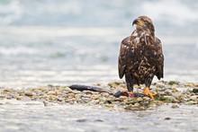 USA, Alaska, Young Bald Eagle With Caught Fish At Chilkoot River