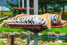 Big And Beautiful Siberian Tiger Sleeps In The Zoo