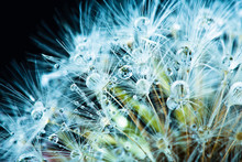 Close Up Of Common Dandelion