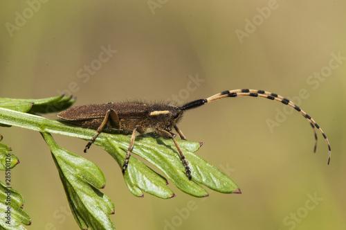 Fototapeta  Agapanthia asphodeli lamiines or flat-faced longhorned beetle common long-horned