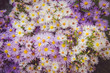 canvas print picture - astra autumnal floral background