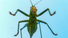Giant Texas Katydid (Neobarrettia Spinosa) Poses Closeup For A Picture