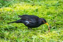 The Male Blackbird Found A Worm On A Green Lawn. The Common Blackbird, Turdus Merula.