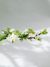 Tender White Apple Blossoms
