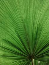 Lush Green Huge Tropical Plant...