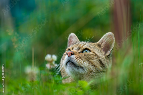 Fényképezés  European wildcat (felis silvestris) looking up