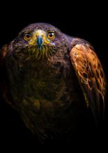 Close Up Of Hawk