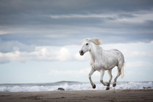 A White Stallion Galloping On ...