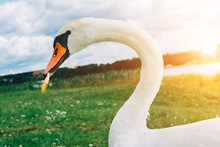 Close Up Image Of Swan With Co...