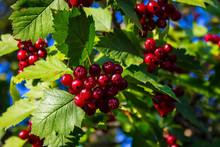 Ripe Red Berries Of Hawthorn B...