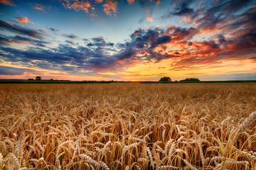 Piękny letni wschód słońca nad polami pszenicy