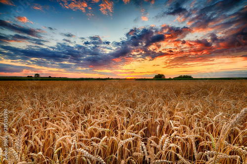 Foto  Beautiful summer sunrise over wheat fields