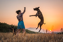 Young Woman Training Big Dog In Wild Nature On Background With Orange Setting Sun. Dog Jumping Up High For Treat