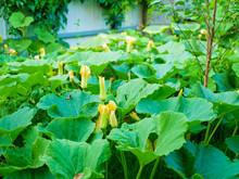 Young Decorative Warty Pumpkin Cucurbita On A Bush In The Garden. Farm Season, Agricultural Concept