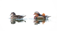 Female And Male Mandarin Ducks...