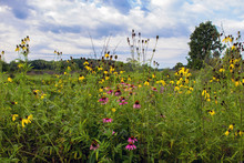 Yellow And Purple Coneflowers In Moraine Hills State Park In  Illinois