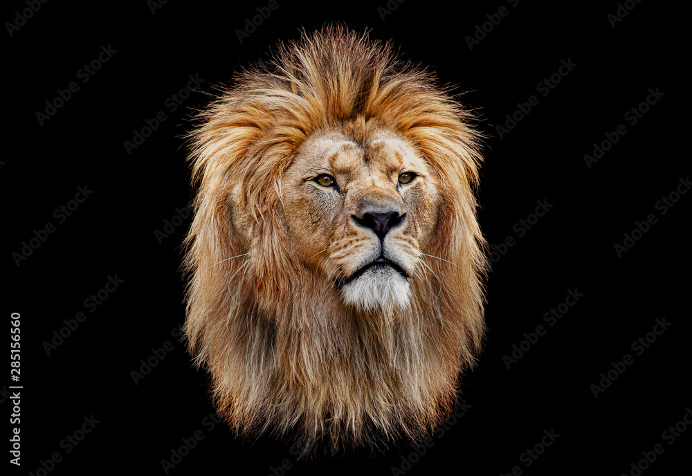 Fototapeta Coloured lion head on a black background