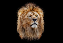 Coloured Lion Head On A Black ...