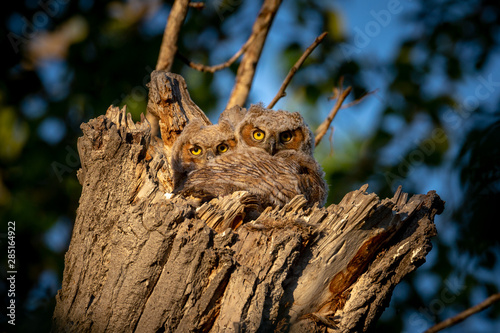 Baby great horned owls in the nest #285164922
