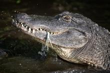 Alligator Eating A Snowy Egret...