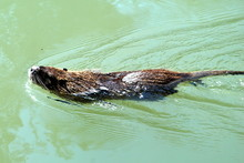 Muskrat In The Jordan River
