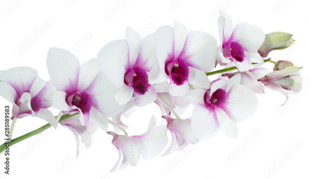 Fototapety, obrazy: White orchid isolated on white