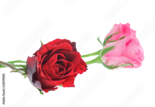 Beautiful  rose isolated on white
