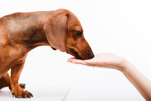 A Brown Dachshund Receives A Treat From A Female Hand.