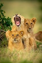 Lion Cub Lies Yawning Widely O...