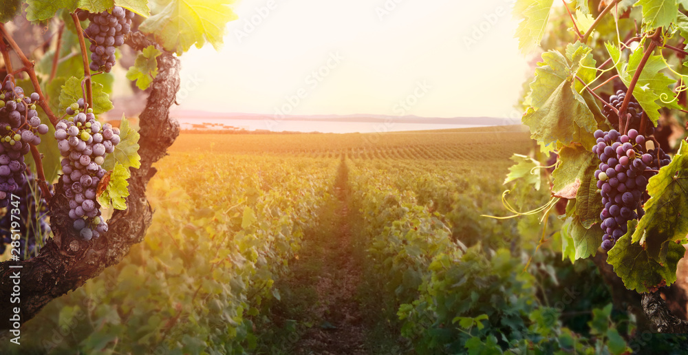 Fototapety, obrazy: Vineyard in autumn harvest