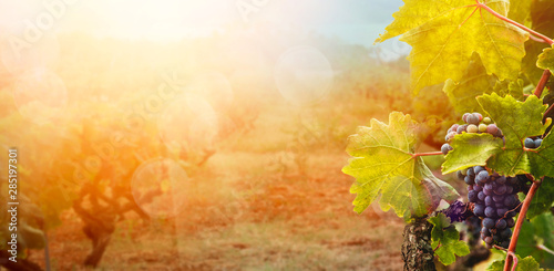 Garden Poster Vineyard Vineyard in autumn harvest