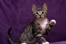 Kitten On A Lilac Background