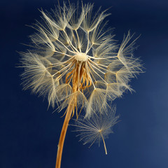 Obraz na Szkle Dmuchawce dandelion and its flying seeds on a blue background