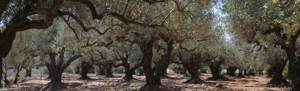 Fototapety, obrazy: Olivenbaum (Olea europaea) Plantage Insel Kreta Griechenland Panorama  nd, Panorama