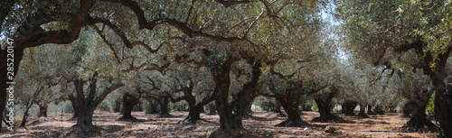 Fotomural  Olivenbaum (Olea europaea) Plantage Insel Kreta Griechenland Panorama  nd, Panor