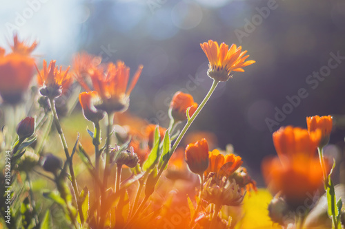 Fotomural Marigold - beautiful orange flowers, in the garden, close up view, bright sunny