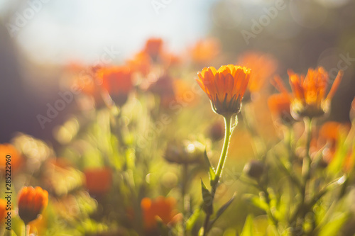 Fotografía Marigold - beautiful orange flowers, in the garden, close up view, bright sunny