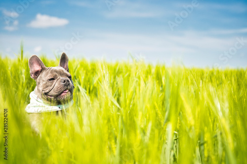 Keuken foto achterwand Franse bulldog Happy french bulldog in a field