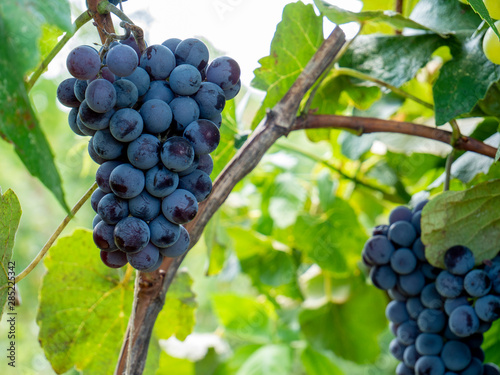Foto auf AluDibond Lime grun Bunches of grapes in a vineyard in a rural garden