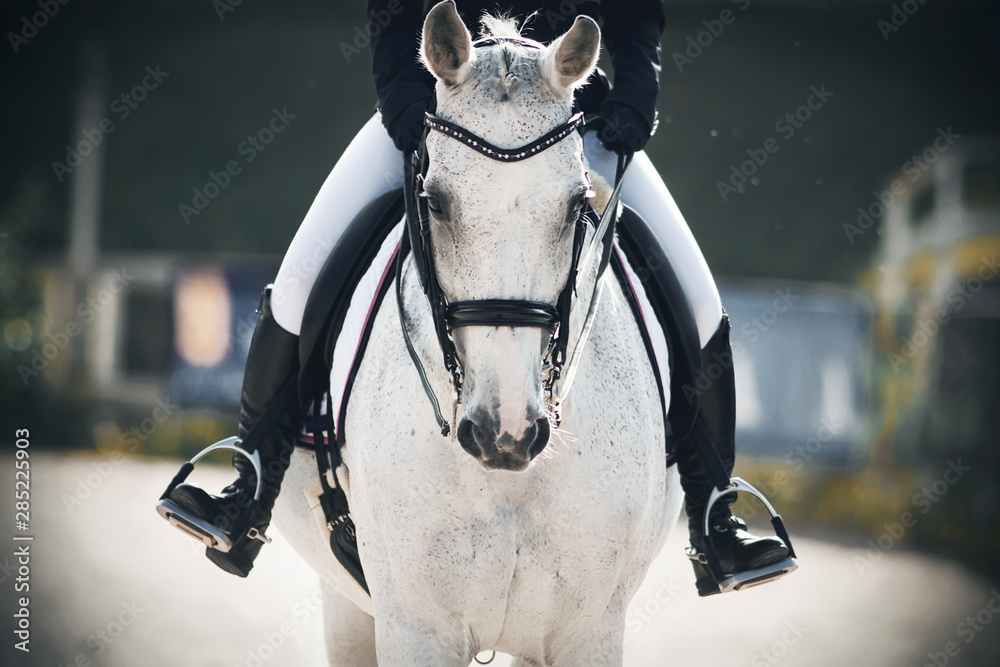 Fototapeta A rider in black boots in the stirrups sits astride a gray horse that walks calmly through the arena