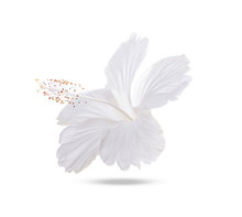 White Hibiscus Isolated On White Background