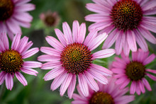 Purple Cornflower Coneflower F...