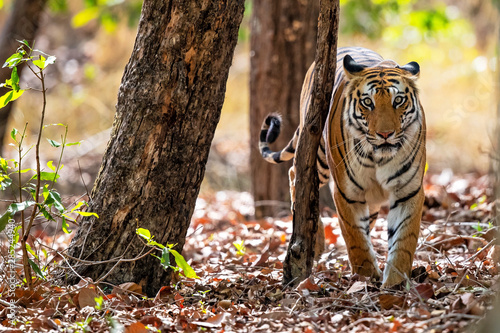 Keuken foto achterwand Tijger Tiger in the forest of Bandhavgarh National Park in India