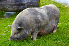 Old Pot-bellied Pig On The Farm