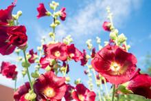 Common Hollyhock Flowers (Alce...