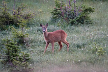 A Roebuck Yearling In The Morning On A Field With Cotton Flowers