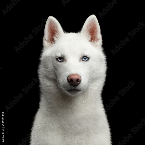 Portrait of White Siberian Husky Dog with blue eyes on Isolated Black Background Canvas Print